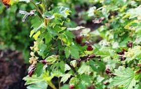 Смородинный почковый клещ — вредитель ягодных культур