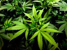 Семейные врачи Израиля начнут выписывать марихуану