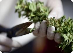 Итальянская армия стремится экипироваться сырьем марихуаны
