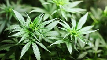 Бразилия разрешила использование препаратов на основе конопли