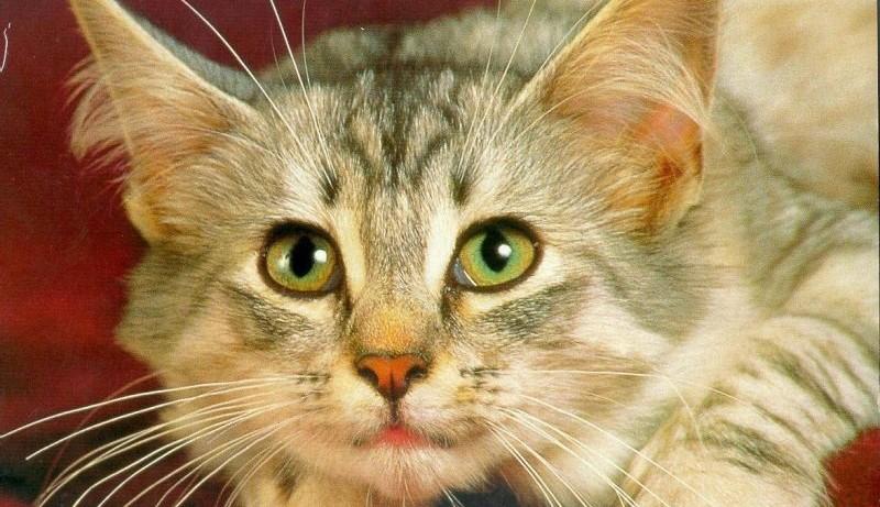 Коты могут стать причиной развития шизофрении у хозяев