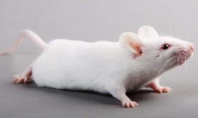 Ученые смогли вернуть память мышам с болезнью Альцгеймера