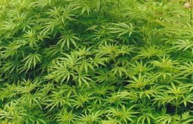 Медики рассказали, почему молодым людям опасно пробовать марихуану