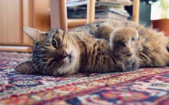 Наличие кошки в доме может вызывать психические заболевания