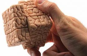 У женского мозга больше извилин