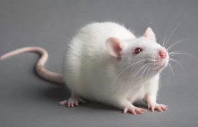 Крысы подсказали британским ученым новый способ лечения рассеянного склероза