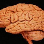 Найдена еще одна область взрослого мозга, где образуются новые клетки