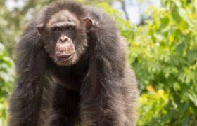 В мозге шимпанзе впервые нашли следы старческого слабоумия
