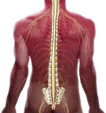 Американские ученые открыли способ полного восстановления подвижности после травмы спинного мозга