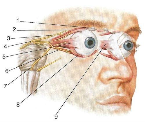 Зрительный нерв и зрительная система