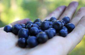 Черника возглавила ТОП-8 самых полезных ягод для здоровья