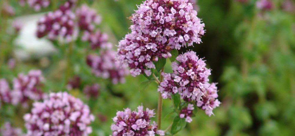 Лечебные свойства и особенности выращивания душицы, шалфея и цветка иван-да-марья