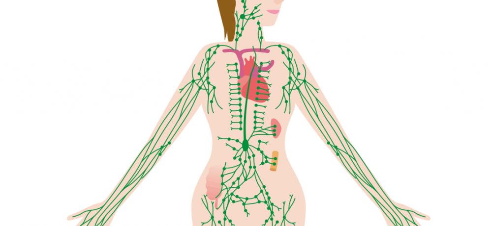 Чем так важна лимфатическая система?