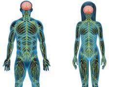 Соматическая нервная система – за что она отвечает и как работает?