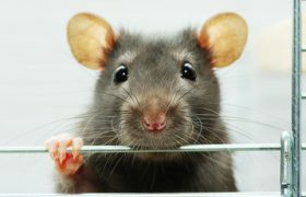 Крысы спасут вас от боли